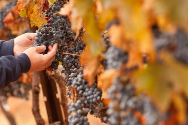 What Makes Great Wine Great